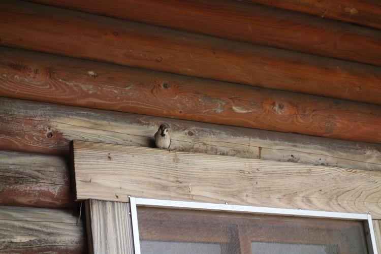 すずめの巣がありました。これは巣から出てきたところ。
