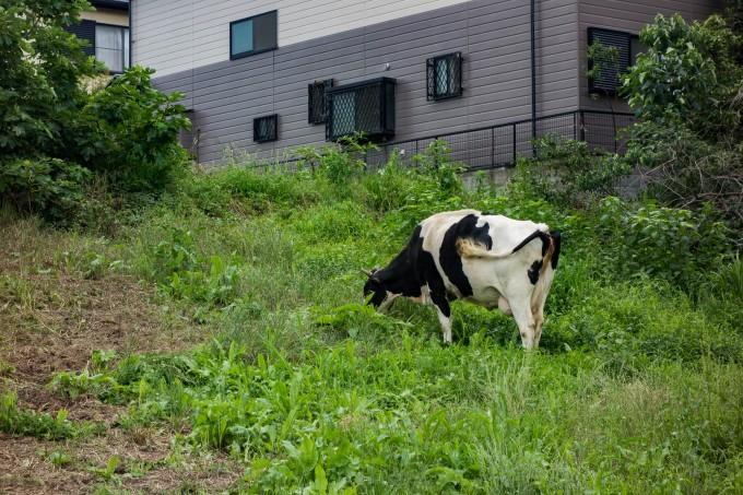 榎本牧場付近にいた牛