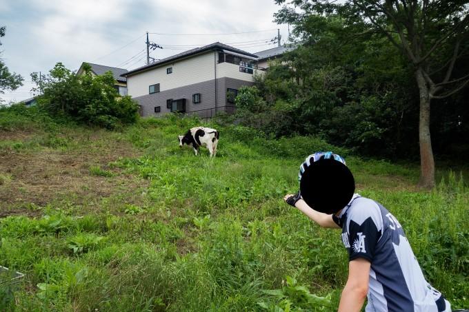 荒川サイクリングロードの榎本牧場付近にいた牛