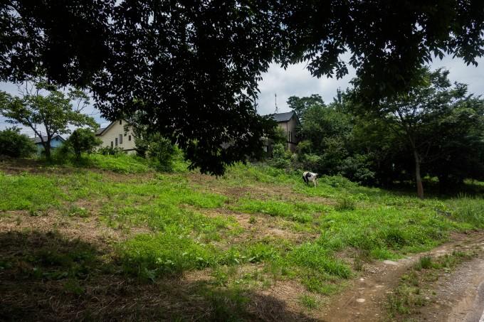 榎本牧場付近の牛